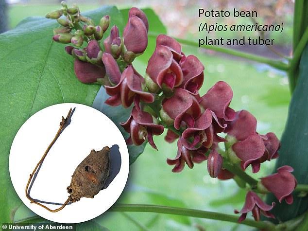 과학적으로 Apios Americana로 알려진 감자 콩 (사진, 주요 식물, 실내, 괴경), 플로리다, 텍사스 및 콜로라도에서 흔히 볼 수있는 계피 덩굴 및 지상 호두라고도 함